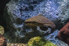 De katvis stijgt in het water stock afbeelding
