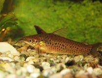 De katvis van de patrijspoort (longibarbis Dianema) Stock Afbeeldingen