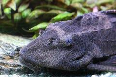 De katvis van Suckermouth Royalty-vrije Stock Afbeeldingen