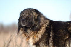 De Kaukasische hond van de Herder Stock Foto