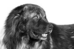 De Kaukasische hond van de Herder Stock Fotografie