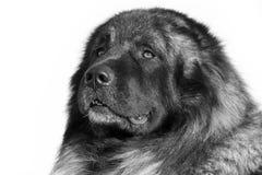 De Kaukasische hond van de Herder Royalty-vrije Stock Afbeeldingen