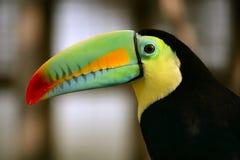 De Kee gefactureerde kleurrijke vogel van de Toekan Stock Afbeeldingen