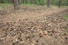 De kegels met sparren en pijnboombomen liggen in een weide in het hout in een opheldering en de bomen zijn stock fotografie