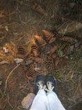 de kegels van de altijdgroene boom ter plaatse in het bos stock foto's