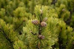 De kegels van de de takheks van de naaldboom Royalty-vrije Stock Afbeelding
