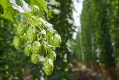De kegels van de hop - grondstof voor bierproductie Royalty-vrije Stock Foto's