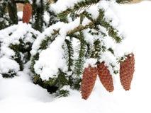 De kegels van de kerstboom die met sneeuw worden behandeld Royalty-vrije Stock Afbeelding