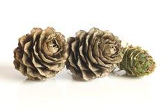De kegels van de lariksboom Stock Foto's