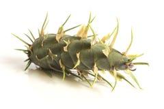 De kegels van de lariksboom Stock Afbeelding