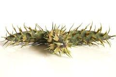 De kegels van de lariksboom Stock Fotografie