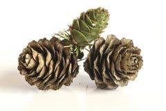 De kegels van de lariksboom Royalty-vrije Stock Afbeelding