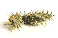 De kegels van de lariksboom Royalty-vrije Stock Foto