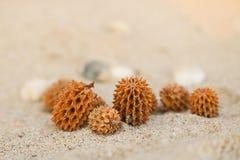 De kegels van het Casuarinazaad op het strand Overzeese Pijnboom Stock Fotografie
