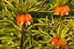 De Keizerbloemen van de kroon royalty-vrije stock afbeelding