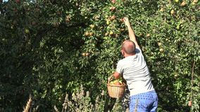 De kerel die van de landbouwersmens rijpe peer oogsten aan rieten mand in boomgaardlandbouwbedrijf 4K stock video