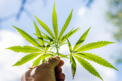 De kerel houdt een cannabisblad in zijn hand Royalty-vrije Stock Foto