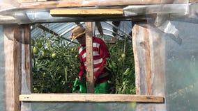 De kerel van de tuinmanmens met strohoed die ruwe tomatenplanten water geven met kan in broeikas 4K stock videobeelden