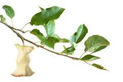 De kern van de appel op een tak Stock Foto's