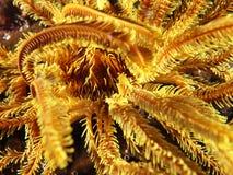De kern van geel koraal met geel ranselt koraalgarnalen royalty-vrije stock foto