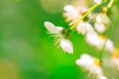 De kers bloeit achtergrond Royalty-vrije Stock Fotografie