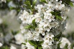 De kers bloeit de vroege lente in tuin Royalty-vrije Stock Afbeeldingen