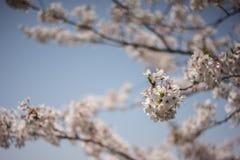 De kers blomssom concentreert zich bij kersenbloem Stock Afbeelding