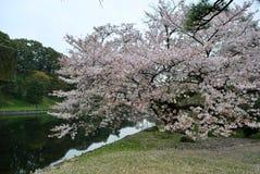 De kers komt boom in Tokyo tot bloei royalty-vrije stock foto