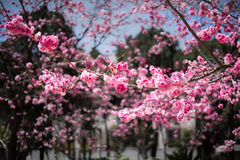 De Kers komt in kunmingï ¼ ŒChina tot bloei Stock Foto