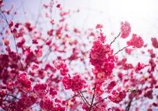 De Kers komt in kunmingï ¼ ŒChina tot bloei Royalty-vrije Stock Afbeelding