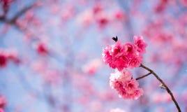 De Kers komt in kunmingï ¼ ŒChina tot bloei Stock Afbeelding