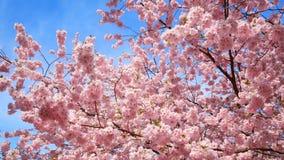 De kers komt treetop met blauwe hemel tot bloei stock footage