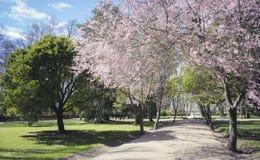 De kers komt, Tuinen van de stad van Aranjuez tot bloei, in Kuuroord wordt gevestigd dat Royalty-vrije Stock Fotografie