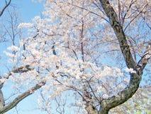 De kers van Washington komt boom April 2010 tot bloei Stock Afbeeldingen