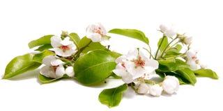 De kersenbloem van de de lentebloei op witte achtergrond Royalty-vrije Stock Foto
