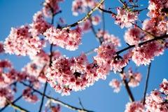 De kersenbloemen van de lente Stock Afbeeldingen