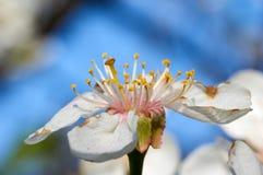 De kersenbloesem Stock Afbeelding