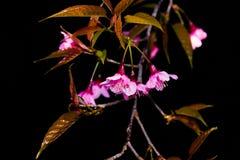 De kersenbloesem in bloeiende aard bloeit achtergrond Stock Foto's