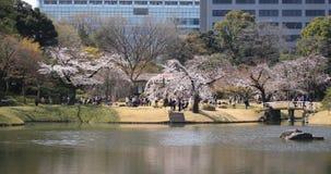 De kersenbloesem in Koishikawa kourakuen park in wijd geschoten handbediend van Tokyo stock footage