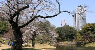 De kersenbloesem in Koishikawa kourakuen park in wijd geschoten handbediend van Tokyo stock videobeelden