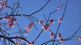 De kersenbloesem, sakura bloeit, de stad van DA Lat, Lam Dong-provincie, Vietnam stock videobeelden