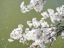 De kersenbloesem van Washington op Getijbekken Maart 2010 Stock Fotografie