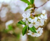 De kersenbloesems royalty-vrije stock fotografie