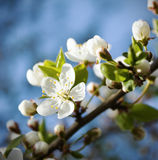 De kersenbloesems van de lente stock foto
