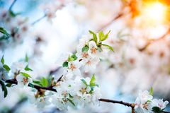 De kersenbloesems van de lente Stock Foto's