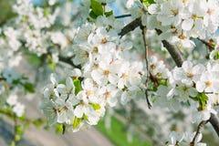De kersenbloesems van de lente stock afbeeldingen
