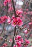 De kersenbloesems van de lente in volledige bloei Stock Foto's