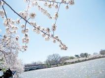 De kersenbloesems van Washington rond Getijbekken Maart 2010 Royalty-vrije Stock Afbeeldingen