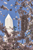 De kersenbomen omringen Washington Monument Royalty-vrije Stock Foto's