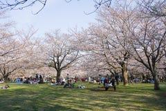 de kersenbomen springen 2019 op stock foto's